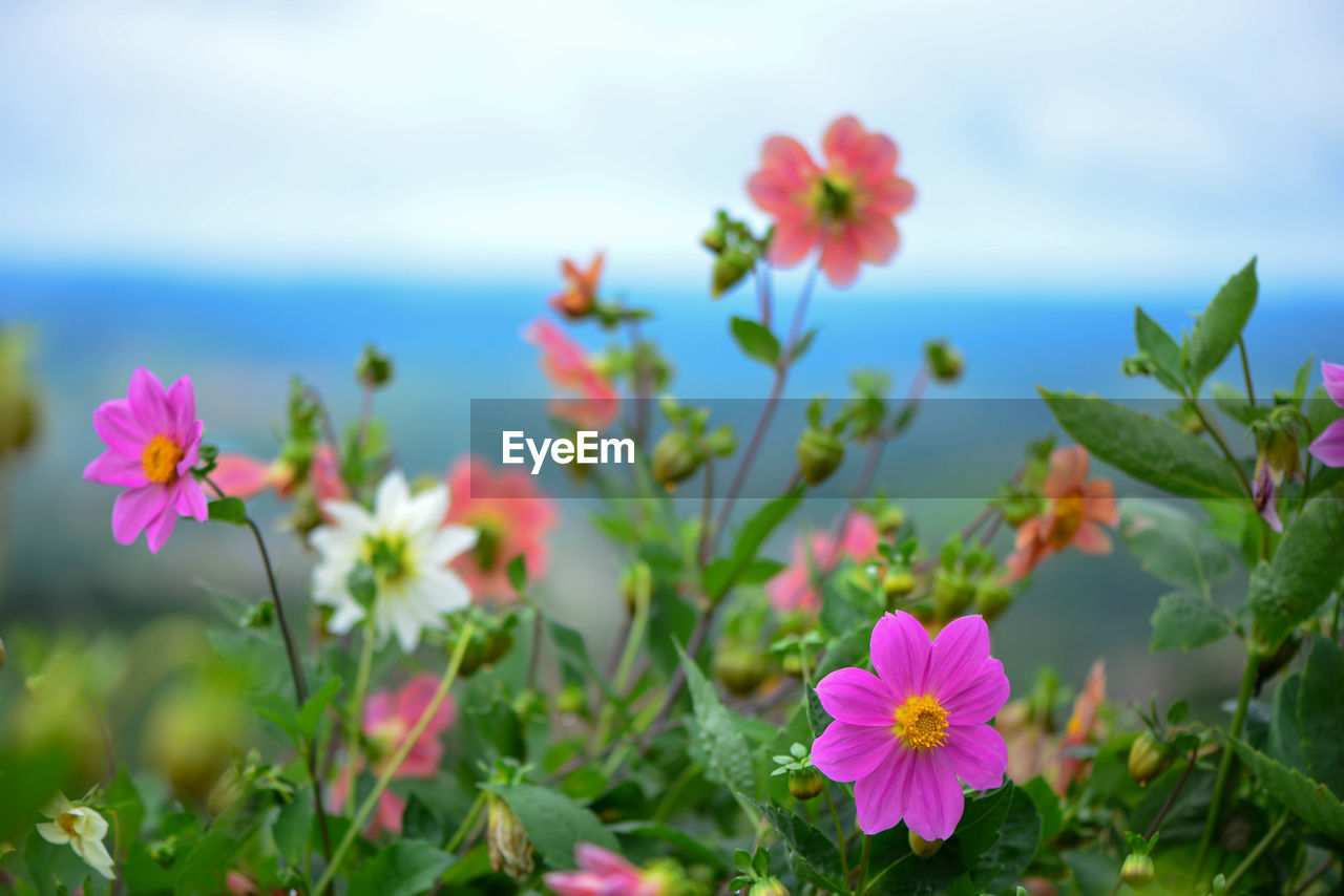 flowering plant, flower, beauty in nature, fragility, plant, growth, freshness, vulnerability, petal, inflorescence, flower head, close-up, nature, no people, pink color, focus on foreground, day, plant part, leaf, field, outdoors
