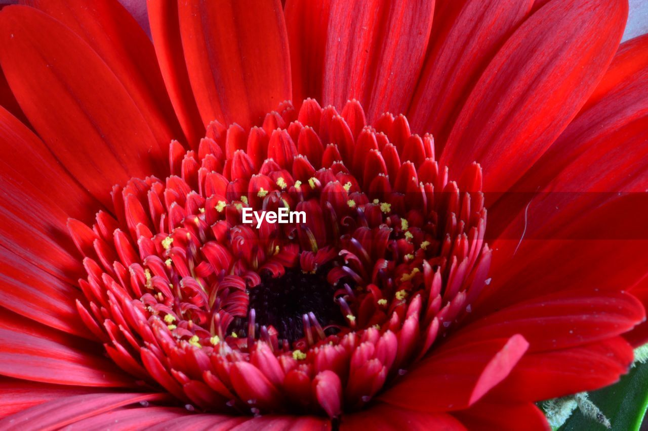 Close-Up Of Red Gerbera Daisy Blooming Outdoors