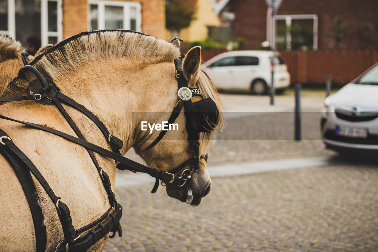 city, mode of transportation, mammal, transportation, animal themes, one animal, animal, domestic animals, pets, street, domestic, focus on foreground, vertebrate, motor vehicle, car, land vehicle, architecture, road, bridle, day, outdoors, herbivorous