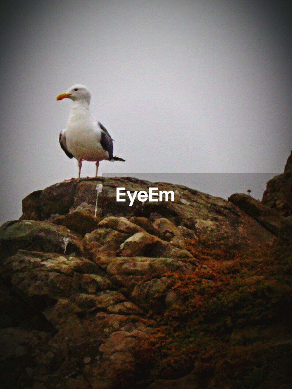 bird, animal themes, perching, animals in the wild, one animal, rock - object, no people, day, clear sky, outdoors, low angle view, animal wildlife, seagull, nature, full length, beauty in nature, close-up, sky