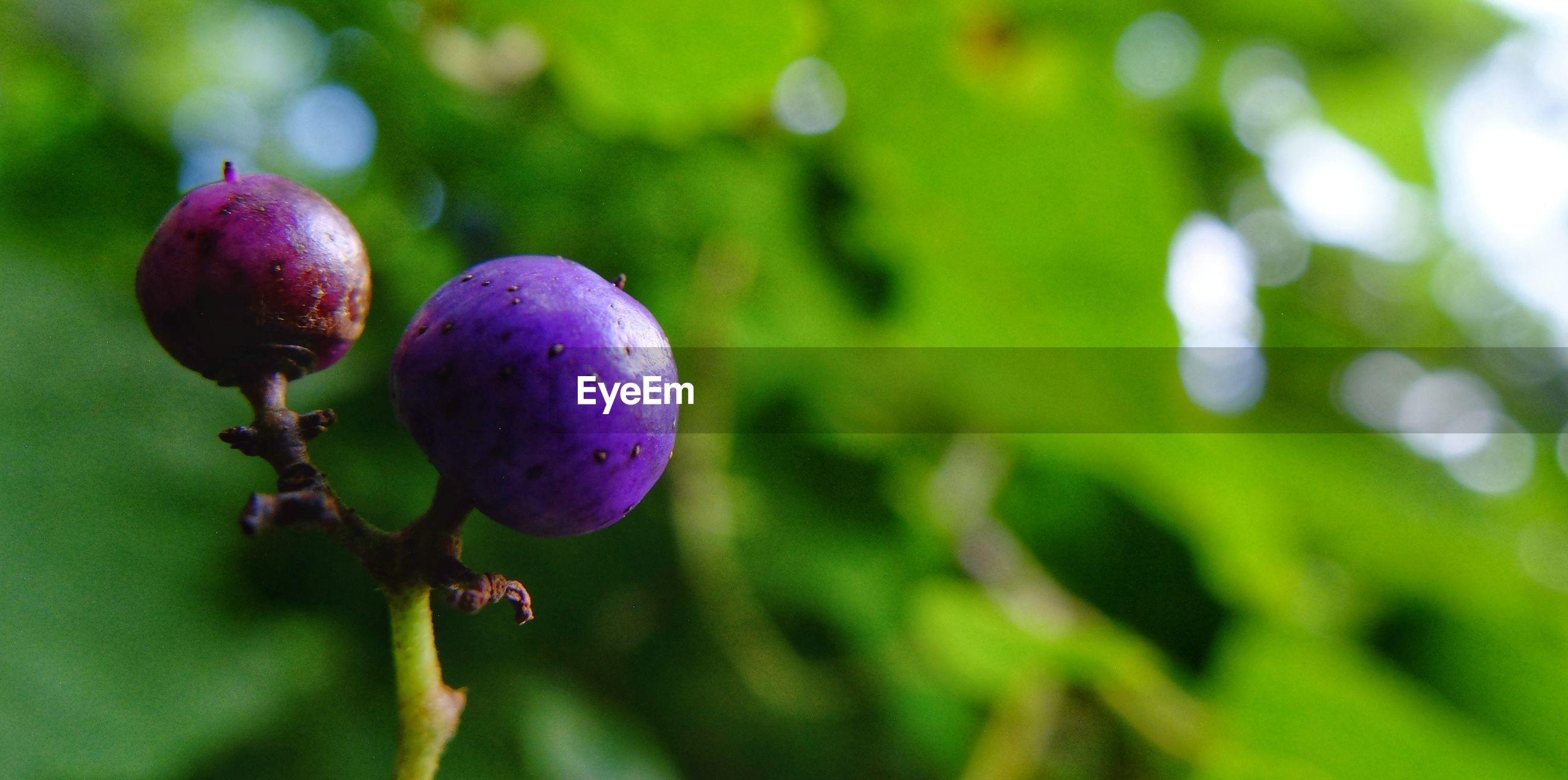 growth, fruit, close-up, bud, purple, freshness, focus on foreground, stem, green color, flower, fragility, nature, plant, beauty in nature, growing, outdoors, new life, springtime, purple color, flower head, no people, bloom, blossom, in bloom, petal, agriculture, botany