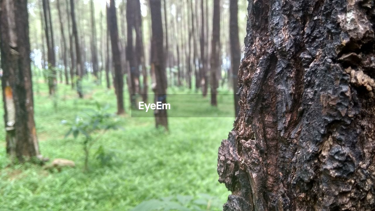 tree, tree trunk, trunk, plant, land, nature, focus on foreground, growth, forest, day, no people, outdoors, textured, grass, bark, beauty in nature, tranquility, close-up, woodland, rough