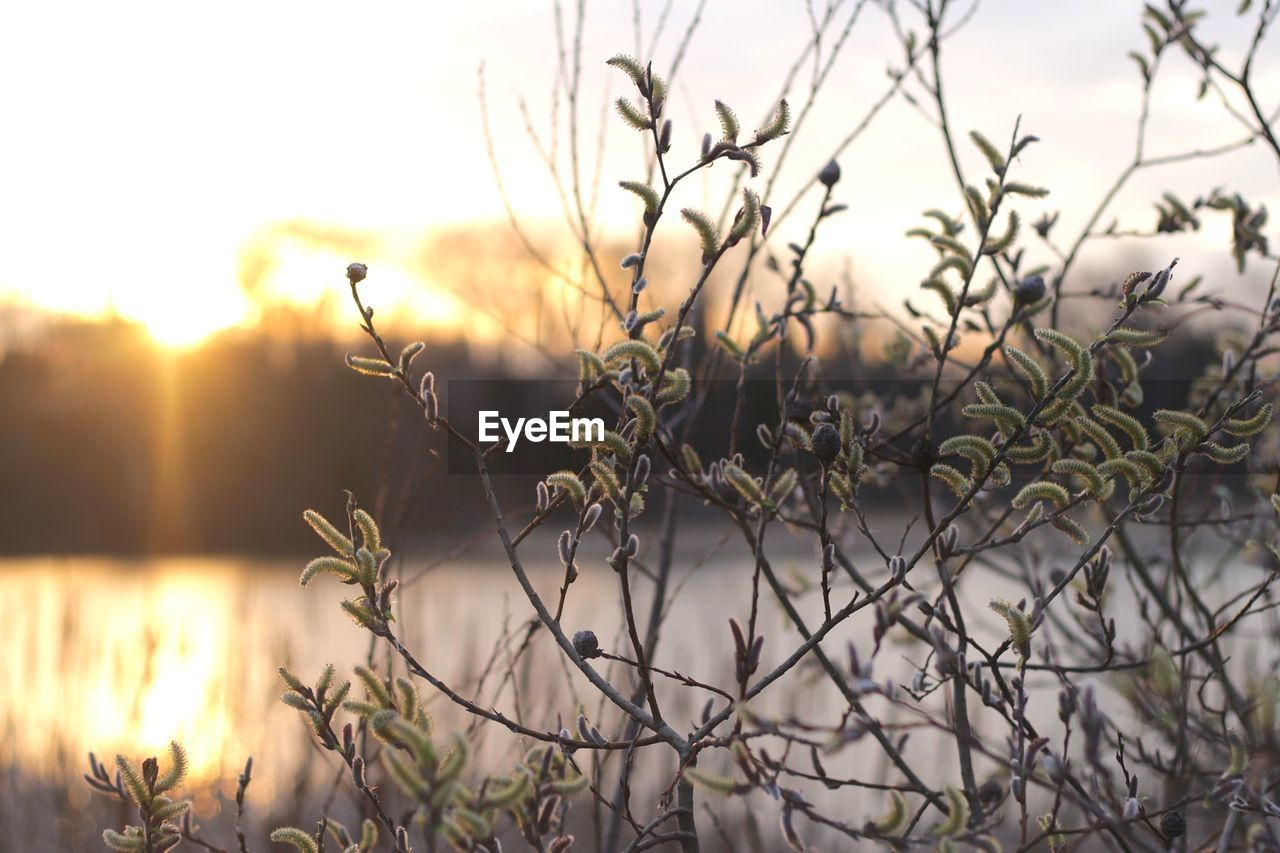 nature, beauty in nature, outdoors, plant, sunset, tranquility, no people, focus on foreground, growth, scenics, sky, water, tree, grass, close-up, day