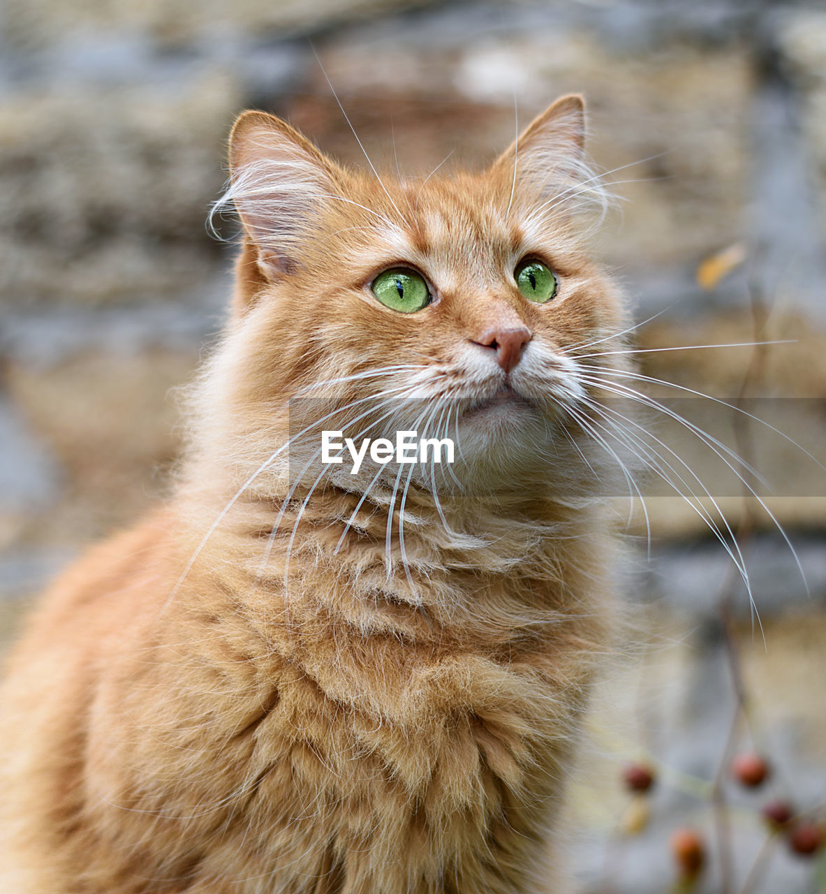 cat, feline, mammal, domestic, pets, animal themes, domestic animals, animal, domestic cat, one animal, whisker, vertebrate, focus on foreground, looking, no people, looking away, close-up, day, animal body part, portrait, animal head, ginger cat, animal eye, tabby