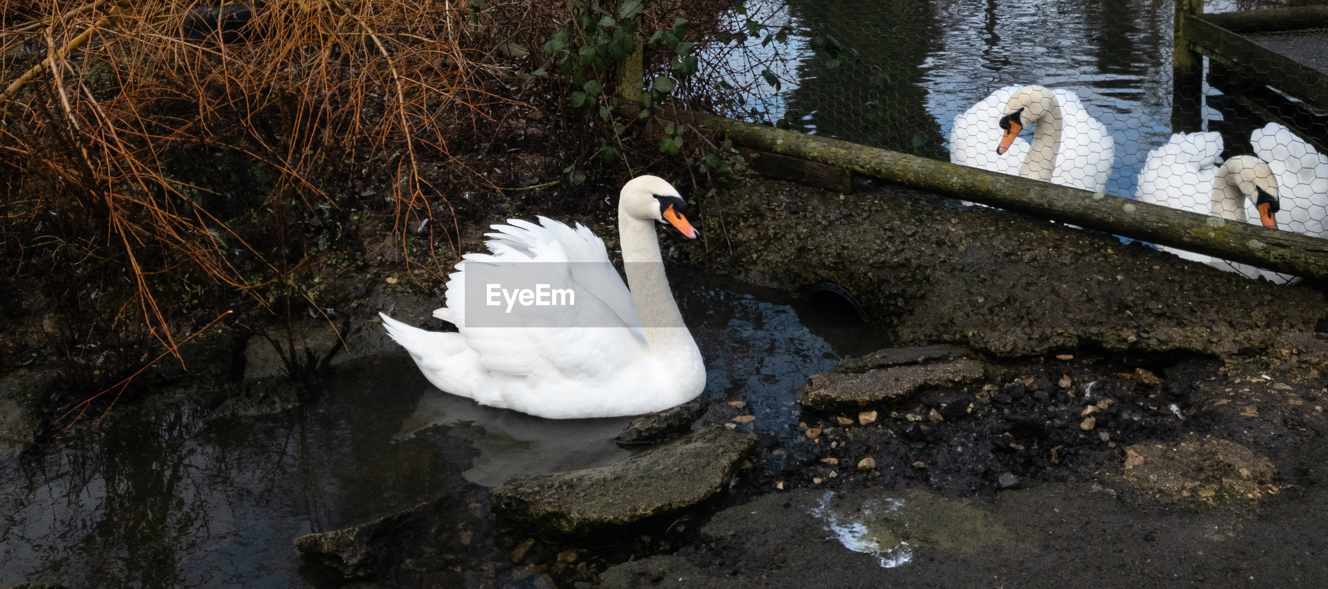 bird, animals in the wild, animal themes, animal wildlife, water, animal, vertebrate, lake, group of animals, swan, swimming, water bird, nature, white color, no people, day, rock, rock - object, mute swan, duck, floating on water, animal family, cygnet, animal neck