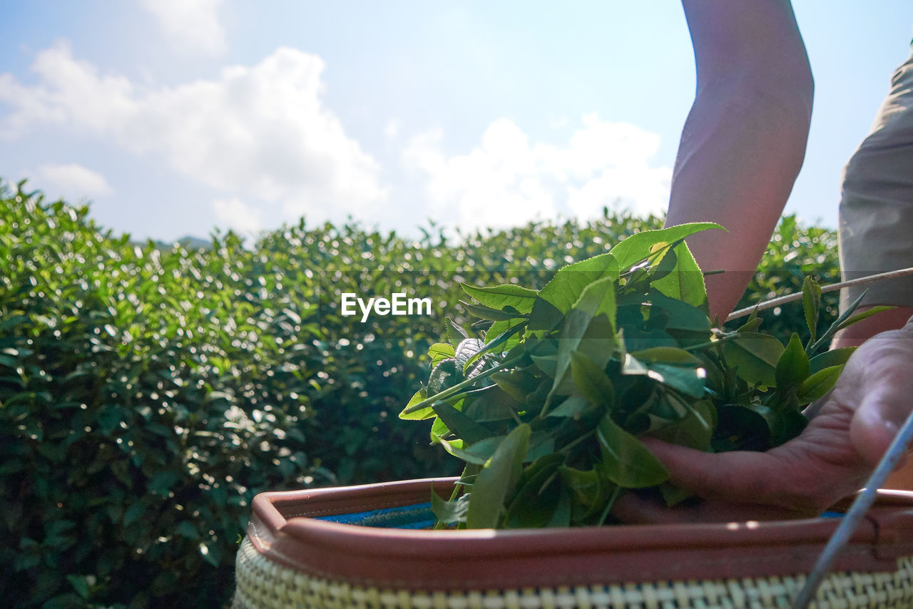 one person, real people, growth, green color, plant, human body part, nature, hand, human hand, day, lifestyles, leaf, field, plant part, sky, holding, cloud - sky, land, body part, outdoors, finger, human limb