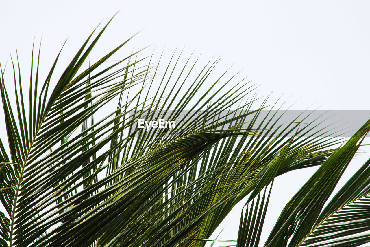 plant, growth, sky, nature, green color, palm tree, no people, palm leaf, clear sky, beauty in nature, low angle view, tree, tropical climate, close-up, day, leaf, plant part, copy space, outdoors, tranquility