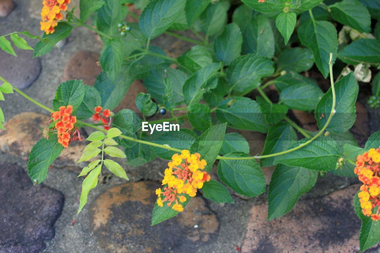 plant, leaf, flowering plant, green color, growth, plant part, beauty in nature, nature, flower, day, freshness, no people, high angle view, vulnerability, fragility, outdoors, close-up, lantana, botany, inflorescence, flower head