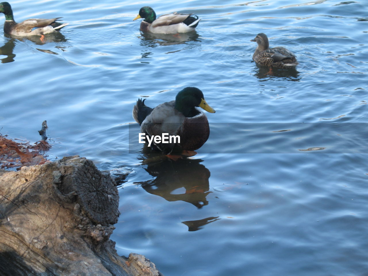 animals in the wild, animal wildlife, animal themes, bird, water, nature, lake, duck, no people, day, outdoors, beauty in nature, swimming