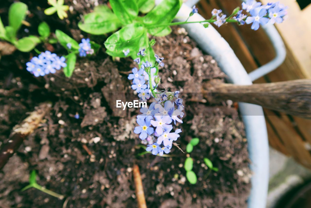 High angle view of forget-me-not flowers growing on pot