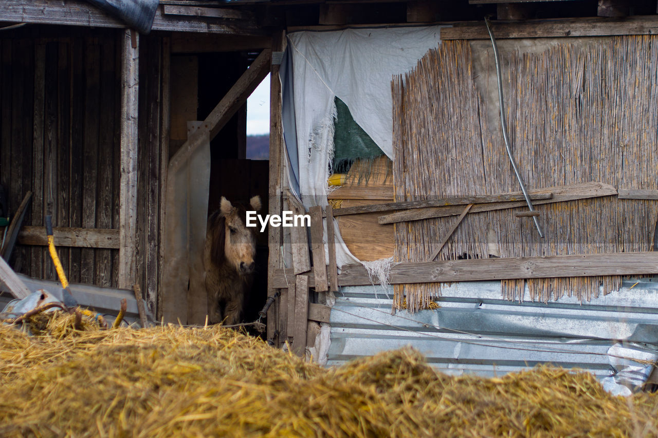 domestic animals, barn, shed, animal themes, hay, built structure, wood - material, mammal, one animal, no people, drying, agricultural building, architecture, agriculture, indoors, livestock, day, rural scene, pets, building exterior