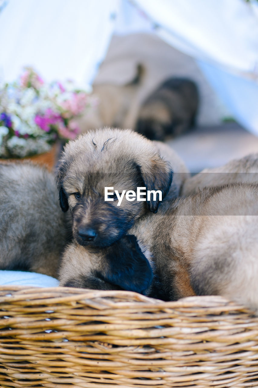 domestic animals, mammal, domestic, pets, animal themes, animal, canine, dog, one animal, vertebrate, relaxation, basket, resting, eyes closed, container, focus on foreground, no people, sleeping, close-up, young animal, animal head