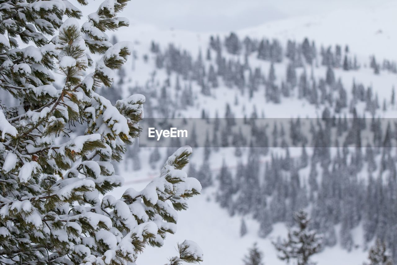 winter, snow, cold temperature, plant, beauty in nature, tree, nature, tranquility, day, no people, white color, covering, growth, focus on foreground, tranquil scene, frozen, scenics - nature, non-urban scene, outdoors, pine tree, coniferous tree, extreme weather
