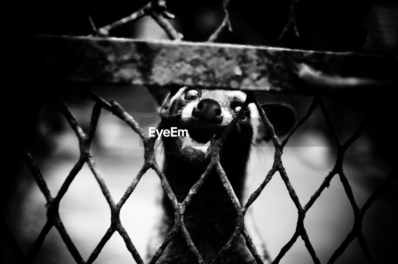 Close-up of civet seen through chainlink fence