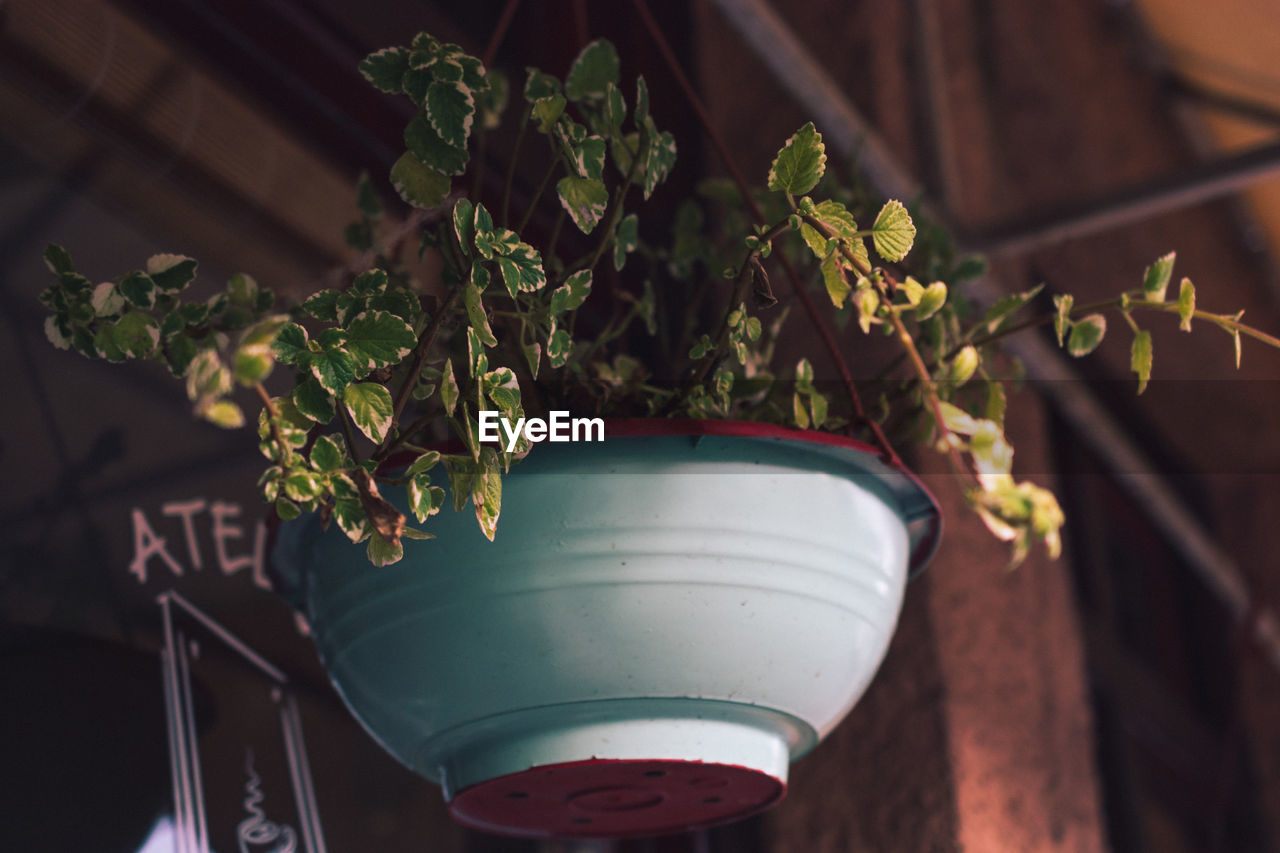 plant, growth, nature, no people, potted plant, green color, focus on foreground, close-up, leaf, plant part, day, indoors, freshness, high angle view, beauty in nature, flower pot, sunlight, flower, food and drink