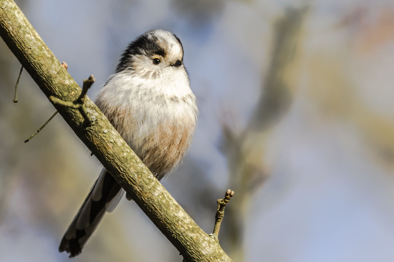 bird, animal, animal themes, one animal, animal wildlife, vertebrate, perching, animals in the wild, focus on foreground, branch, plant, tree, day, close-up, nature, no people, selective focus, outdoors, looking away, twig