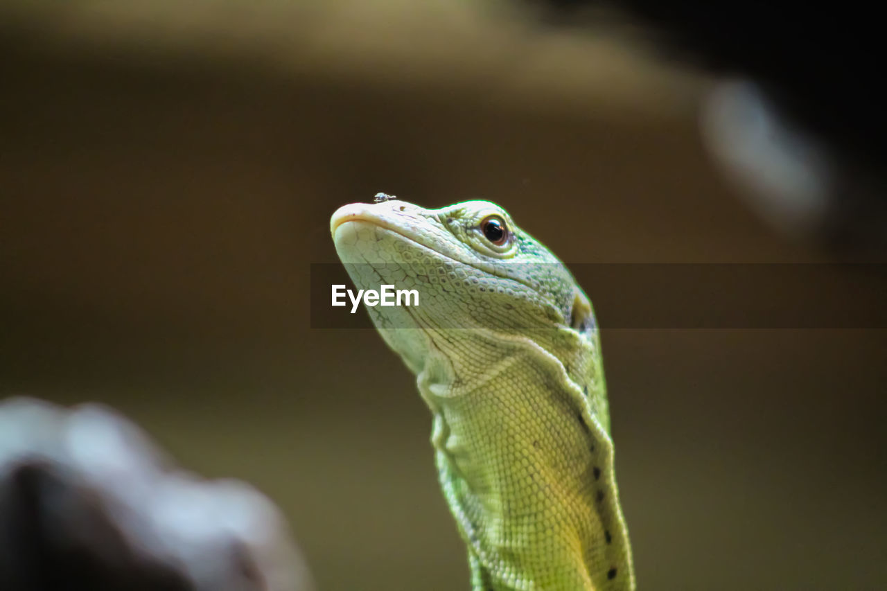 animal themes, animal, one animal, animals in the wild, animal wildlife, reptile, lizard, vertebrate, close-up, focus on foreground, no people, animal body part, nature, looking, looking away, day, outdoors, animal head, green color, selective focus, animal scale, iguana, animal eye