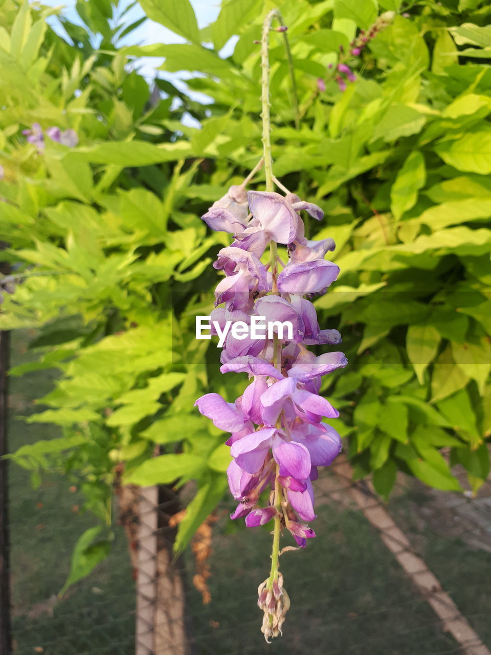 plant, flowering plant, flower, growth, beauty in nature, petal, freshness, vulnerability, fragility, pink color, close-up, purple, nature, day, plant part, leaf, no people, focus on foreground, inflorescence, botany, flower head, outdoors, lilac