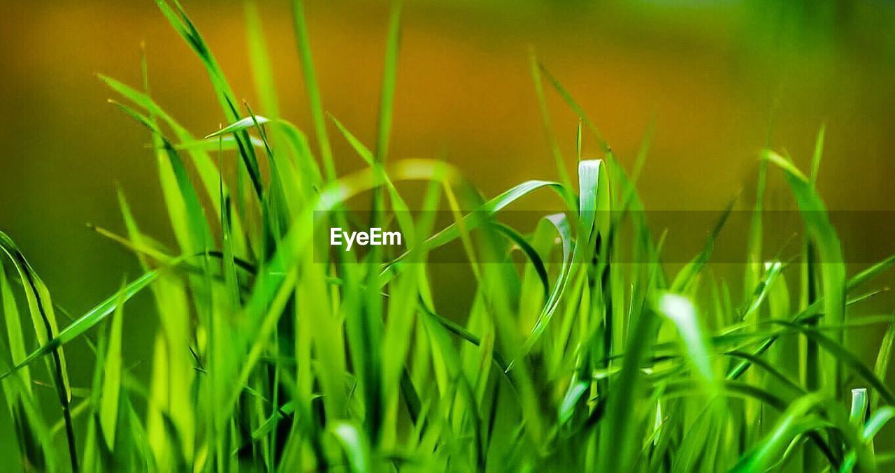 growth, green color, grass, nature, plant, field, outdoors, no people, close-up, day, backgrounds, cereal plant, freshness, beauty in nature