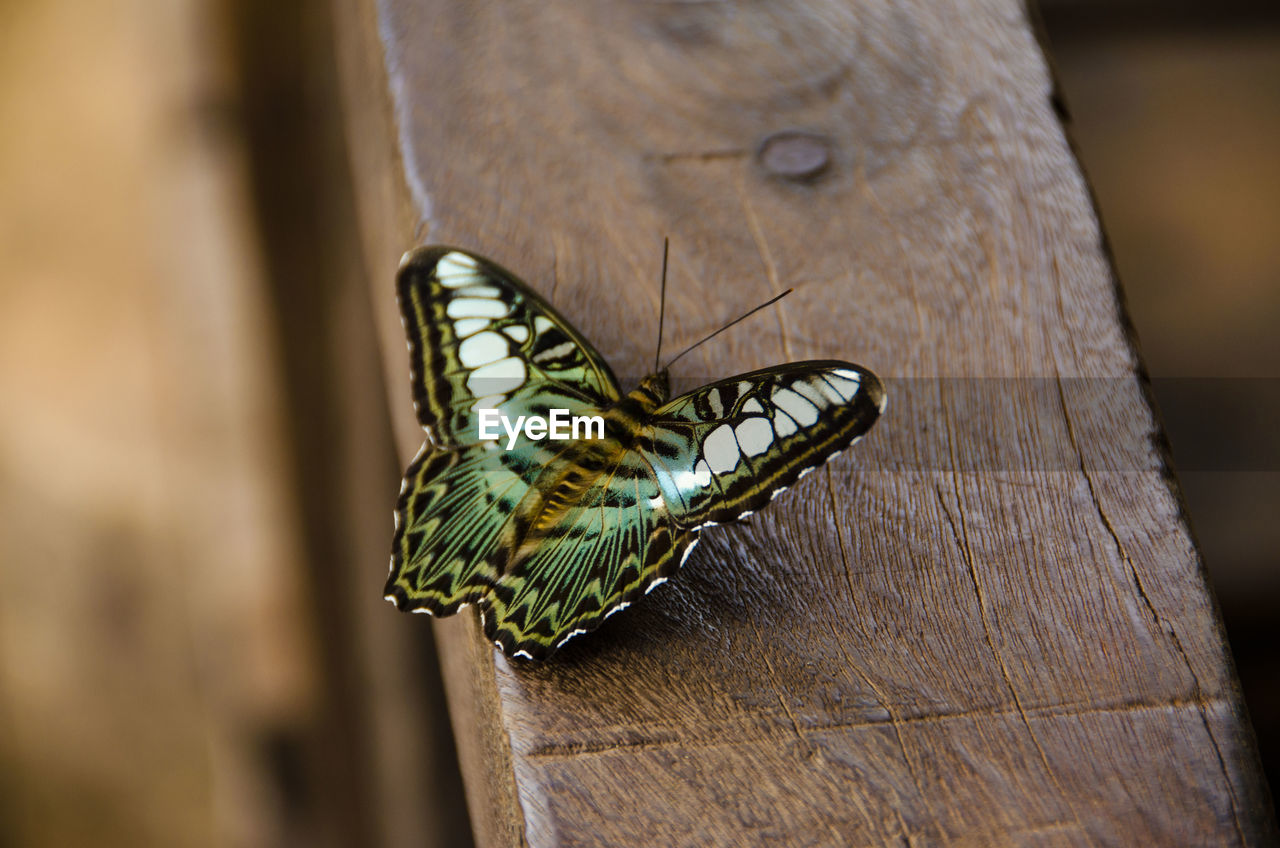 animal themes, animal wildlife, one animal, animal, animals in the wild, insect, invertebrate, close-up, butterfly - insect, animal wing, focus on foreground, no people, wood - material, day, animal body part, nature, beauty in nature, animal markings, outdoors, zoology, butterfly