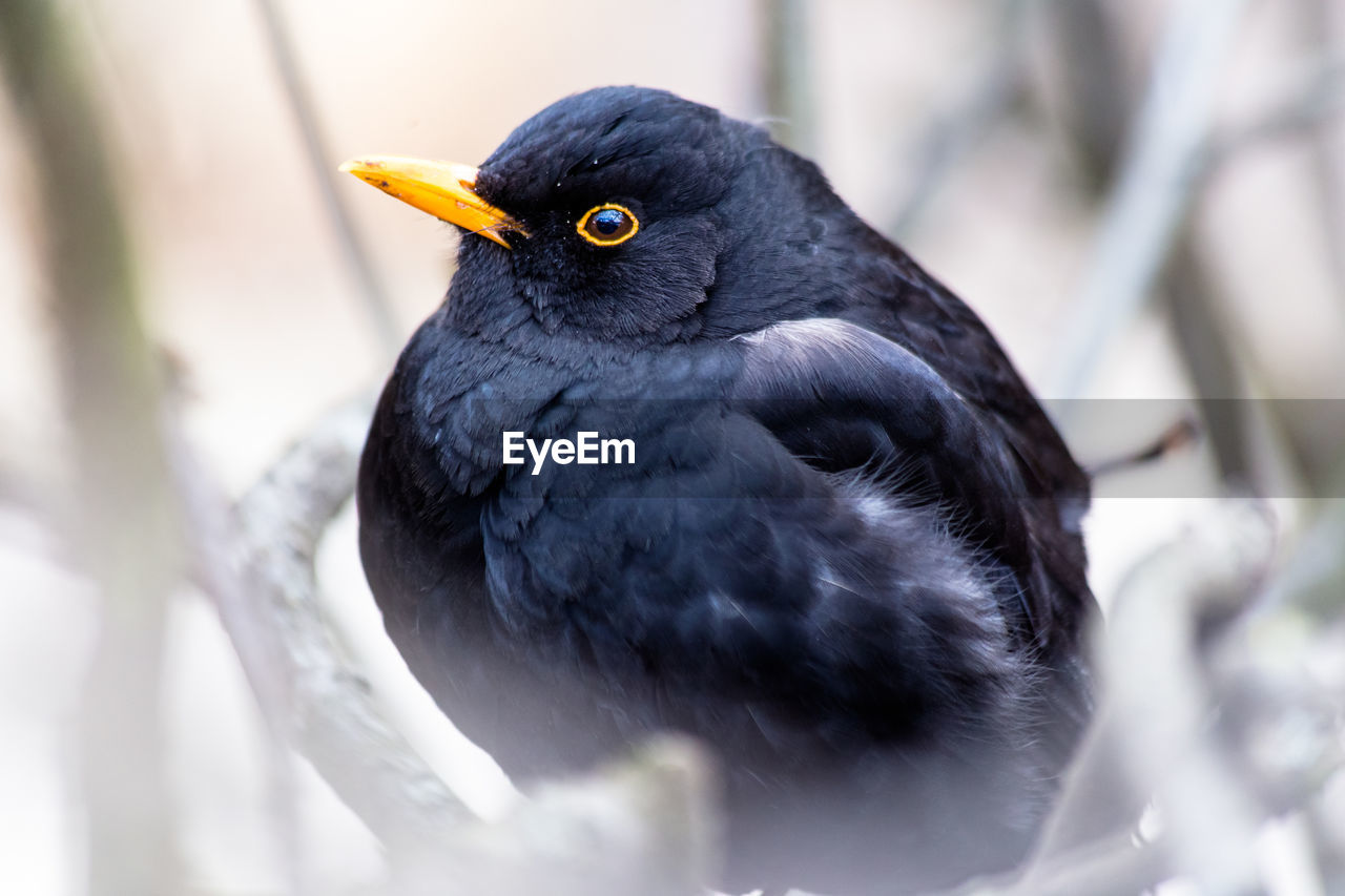 animal, animal themes, vertebrate, bird, one animal, animals in the wild, animal wildlife, selective focus, day, close-up, no people, black color, blackbird, perching, nature, outdoors, focus on foreground, beak, zoology, branch, animal eye