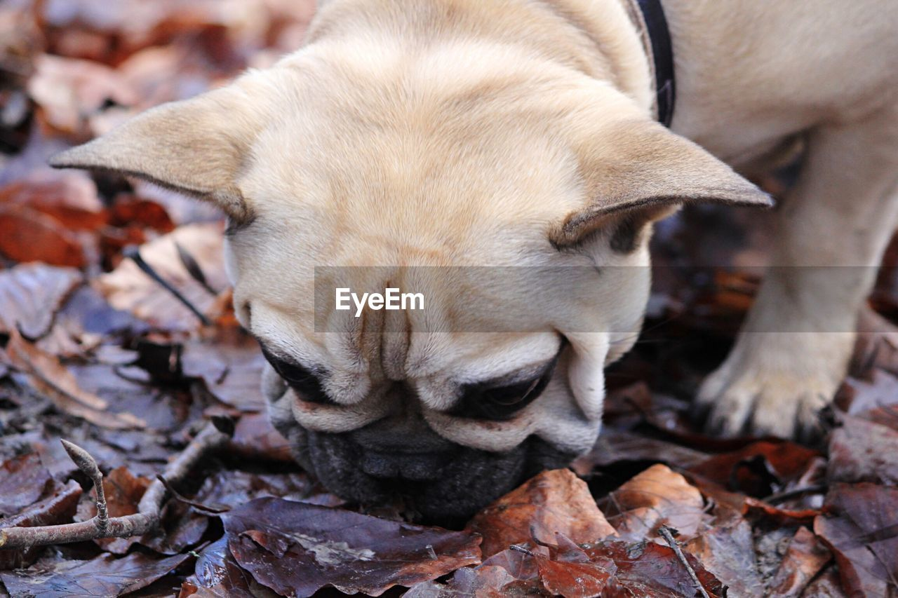Close-up of pug on messy field