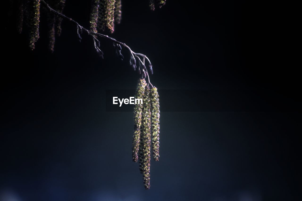 close-up, plant, tree, nature, no people, focus on foreground, outdoors, hanging, growth, beauty in nature, copy space, night, green color, cold temperature, twig, selective focus, fragility, winter, fir tree