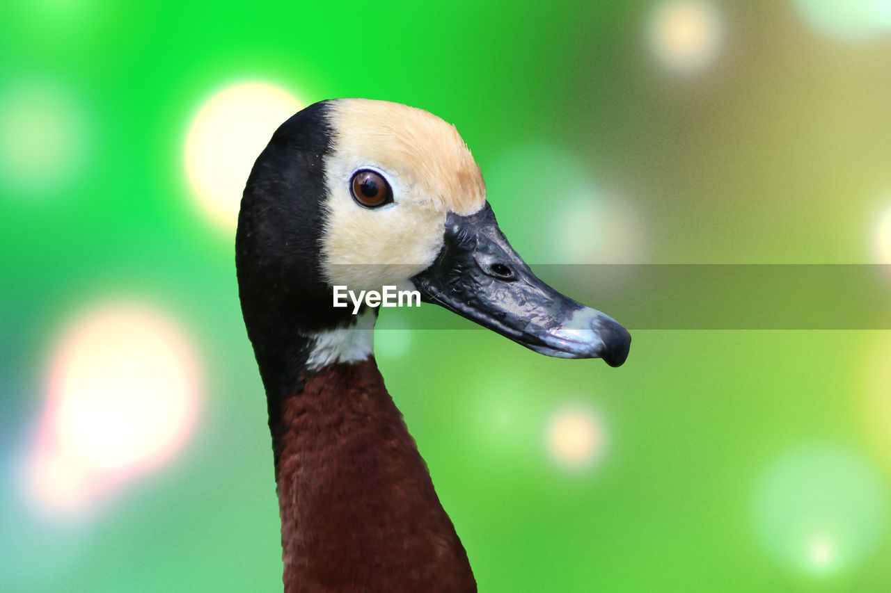 animals in the wild, one animal, animal wildlife, animal themes, bird, vertebrate, animal, close-up, focus on foreground, beak, animal body part, no people, animal head, green color, nature, day, goose, outdoors, duck, looking away, animal neck, mouth open, animal eye