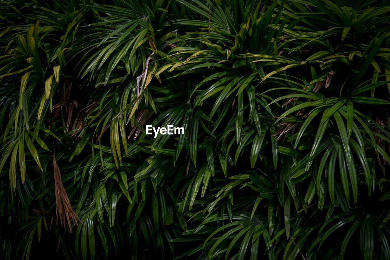 green color, growth, plant, beauty in nature, leaf, plant part, no people, nature, backgrounds, full frame, tranquility, close-up, day, tree, outdoors, freshness, botany, foliage, green, pine tree, coniferous tree