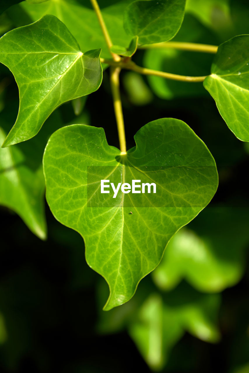 leaf, plant part, green color, growth, plant, close-up, nature, no people, outdoors, beauty in nature, day, freshness, leaf vein, selective focus, focus on foreground, leaves, sunlight, vulnerability, high angle view, green, clover