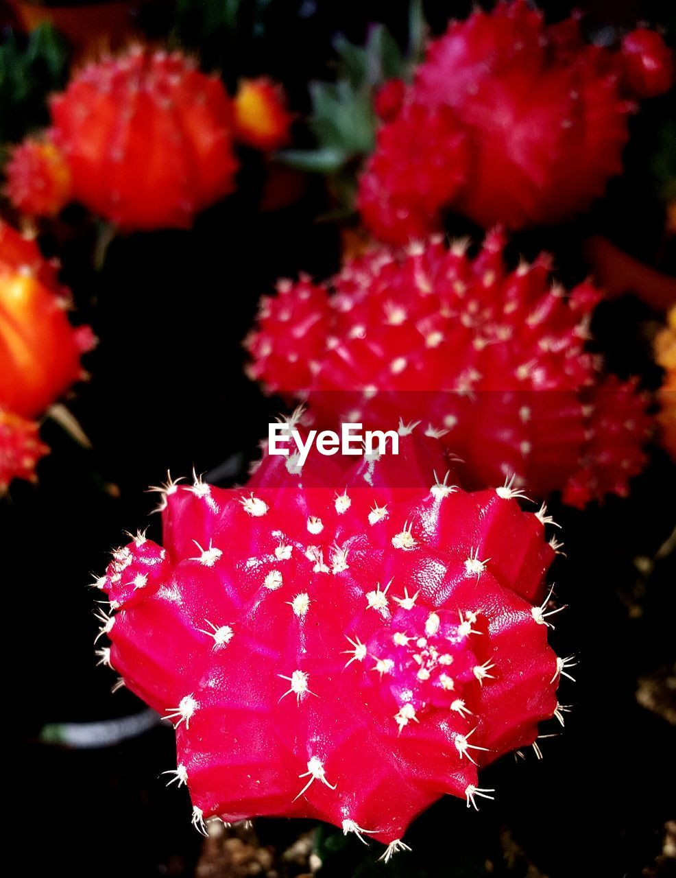 red, beauty in nature, no people, nature, outdoors, close-up, growth, fragility, night, freshness, water, flower head, undersea
