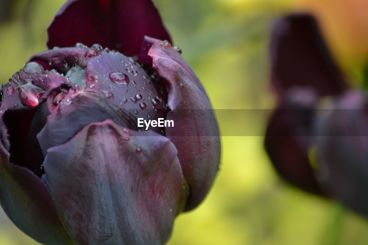 flower, nature, growth, petal, beauty in nature, fragility, drop, close-up, freshness, water, flower head, wet, plant, day, no people, focus on foreground, blooming, outdoors, raindrop