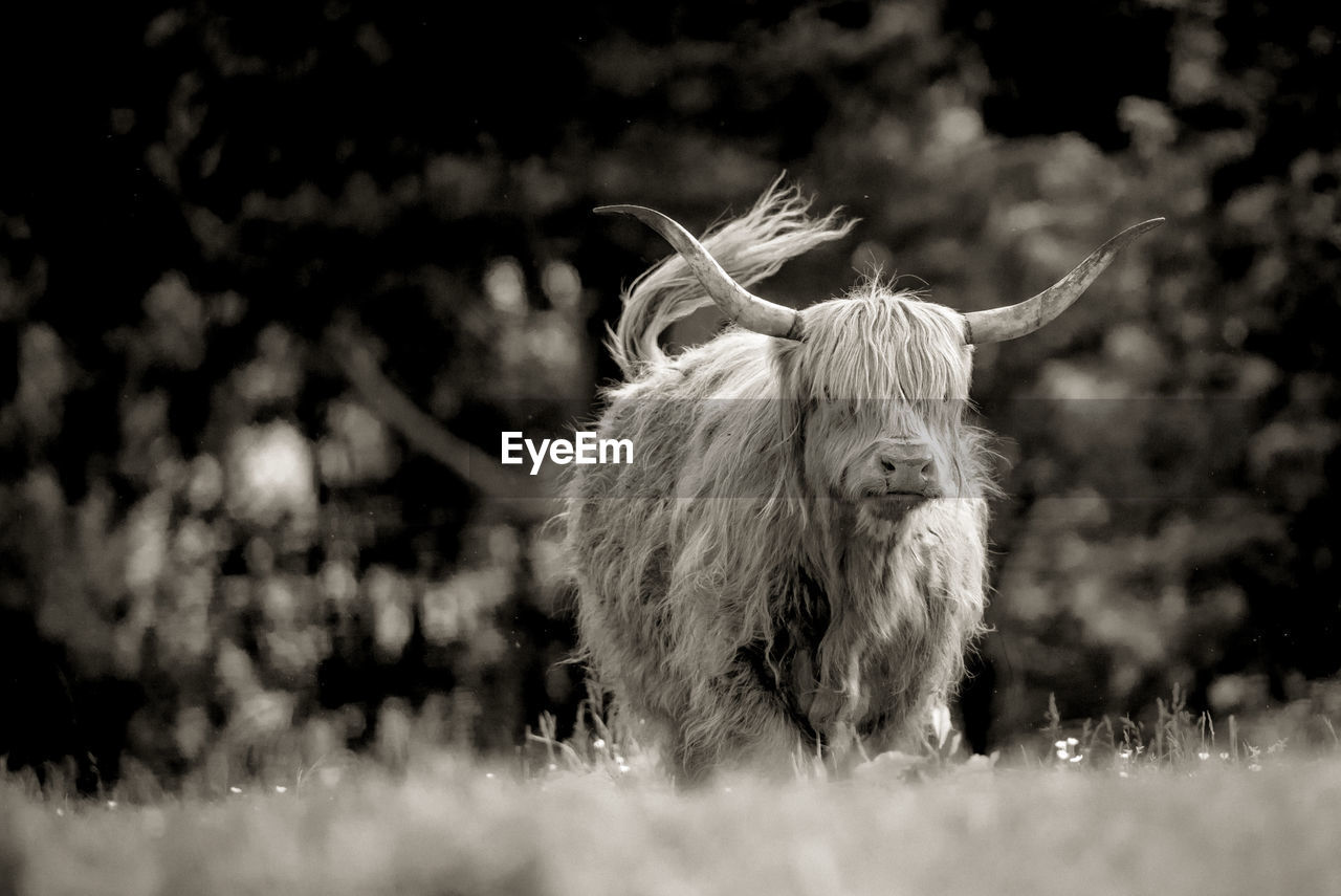 Highland cattle standing on land