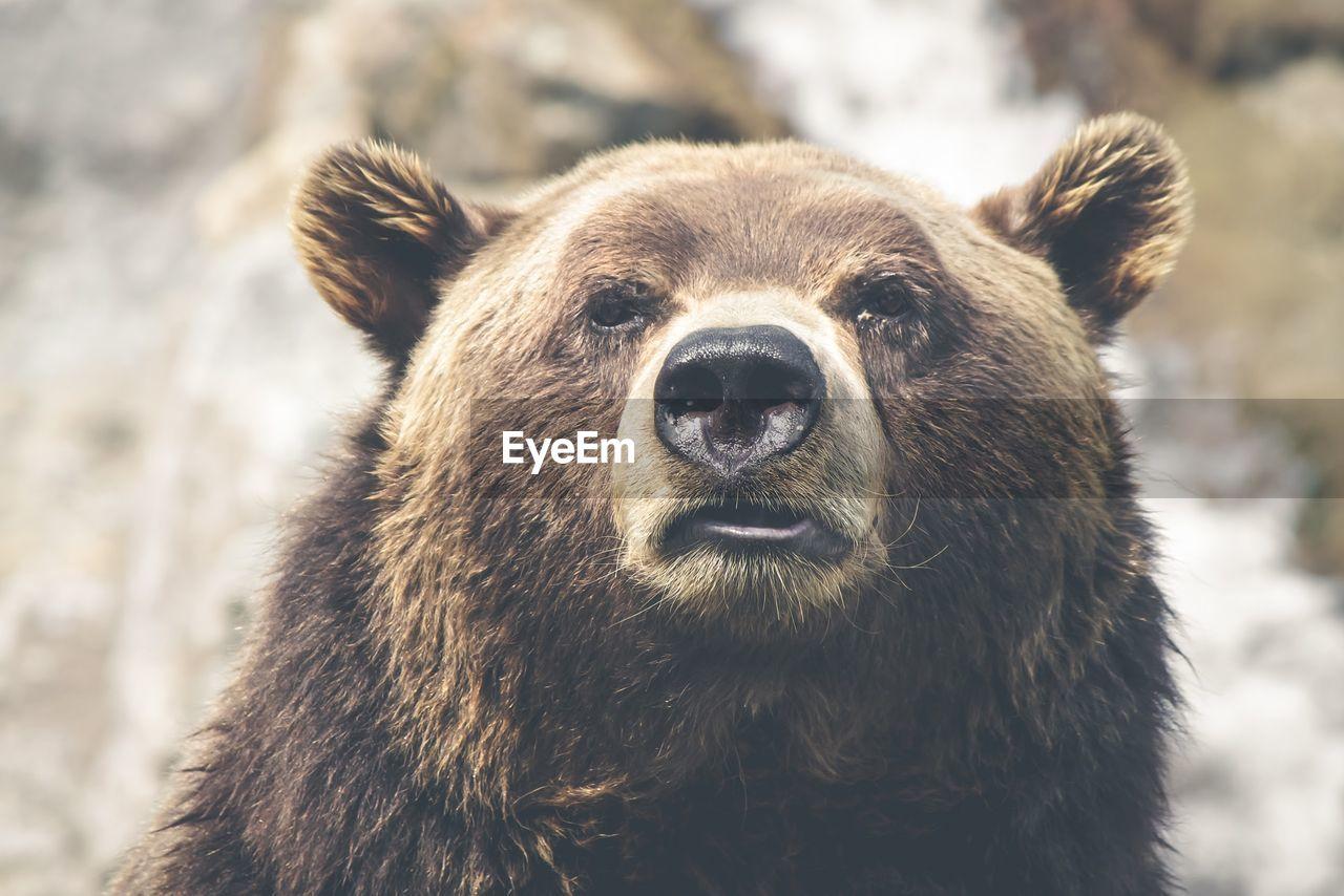 Close-Up Portrait Of Bear
