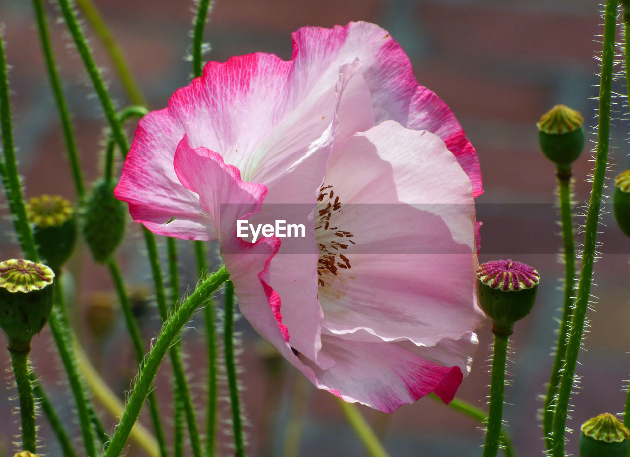 flower, petal, growth, fragility, beauty in nature, pink color, nature, flower head, plant, freshness, no people, blooming, day, pollen, close-up, outdoors, stamen, one animal, hibiscus, water, animal themes