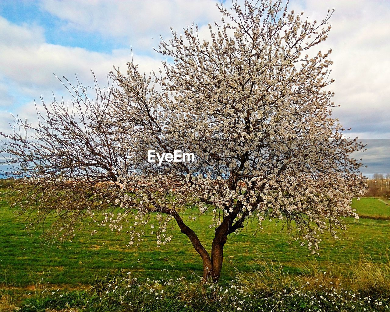 tree, blossom, flower, nature, beauty in nature, springtime, growth, almond tree, fragility, branch, apple blossom, orchard, freshness, sky, field, tranquility, cloud - sky, no people, day, outdoors, grass, scenics, landscape
