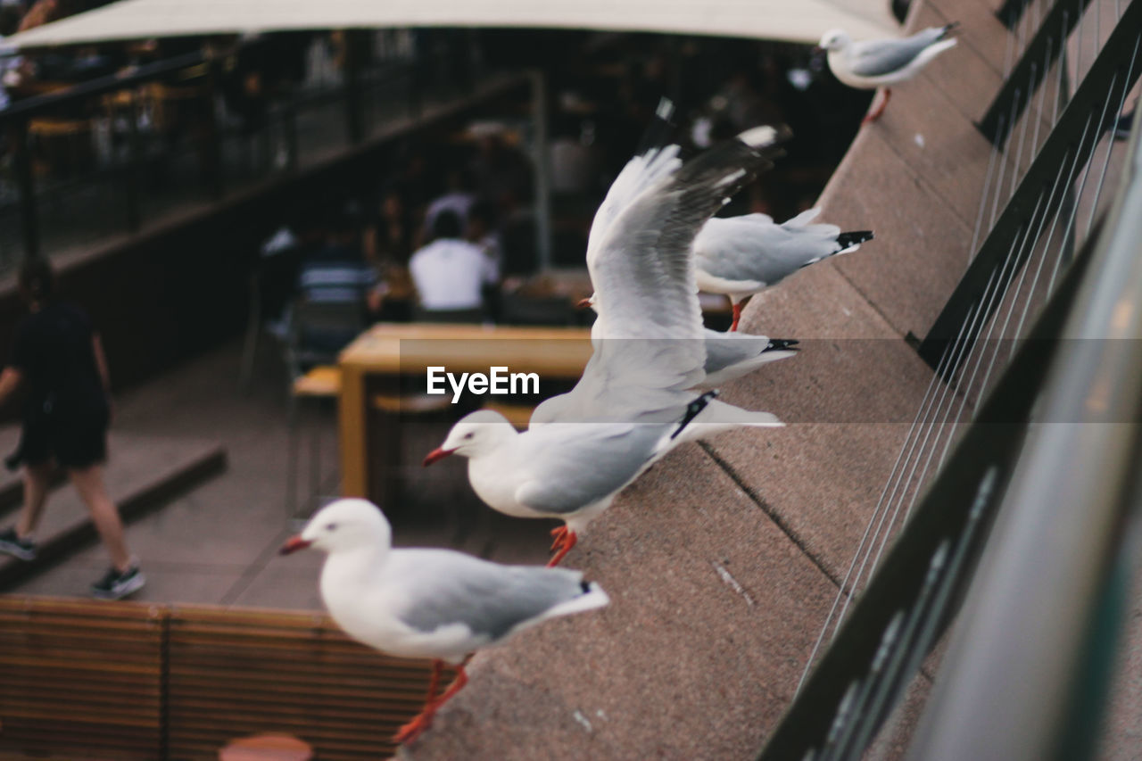 animal, animal themes, bird, animals in the wild, animal wildlife, flying, vertebrate, group of animals, seagull, spread wings, day, incidental people, railing, nature, large group of animals, focus on foreground, mid-air, outdoors, sea bird, flock of birds