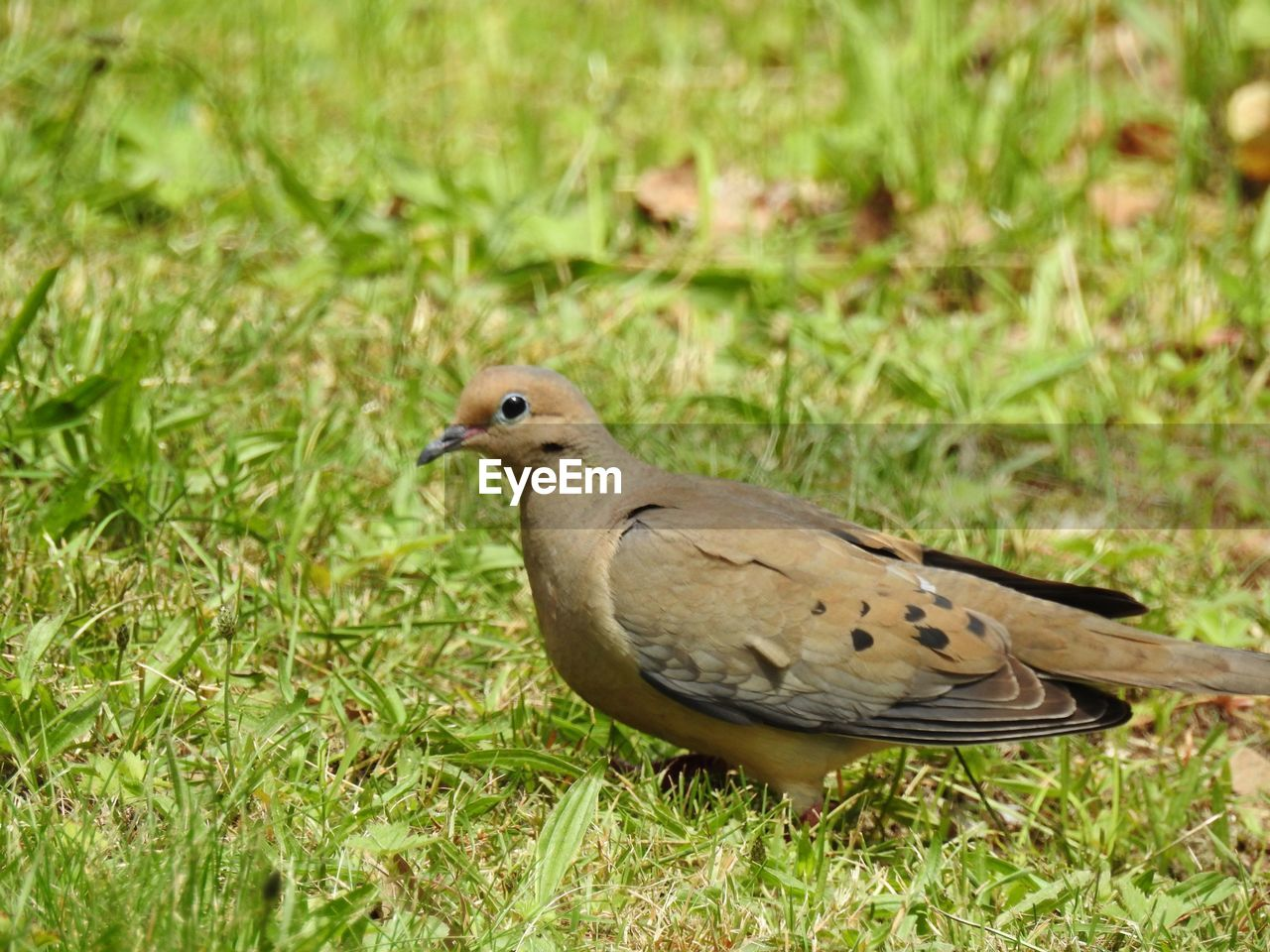 animal themes, bird, animal wildlife, one animal, animals in the wild, animal, vertebrate, grass, plant, green color, nature, day, field, mourning dove, no people, land, perching, dove - bird, close-up, focus on foreground, outdoors