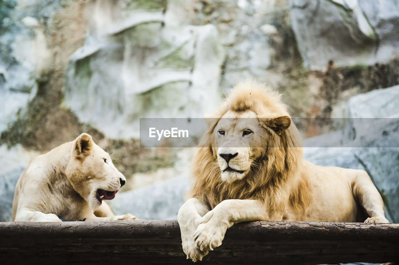 Lion And Lioness Relaxing At Zoo