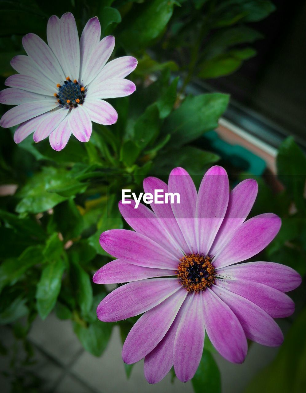 flower, petal, flower head, nature, fragility, beauty in nature, plant, growth, freshness, blooming, osteospermum, purple, pink color, pollen, no people, day, outdoors, close-up, cosmos flower, zinnia