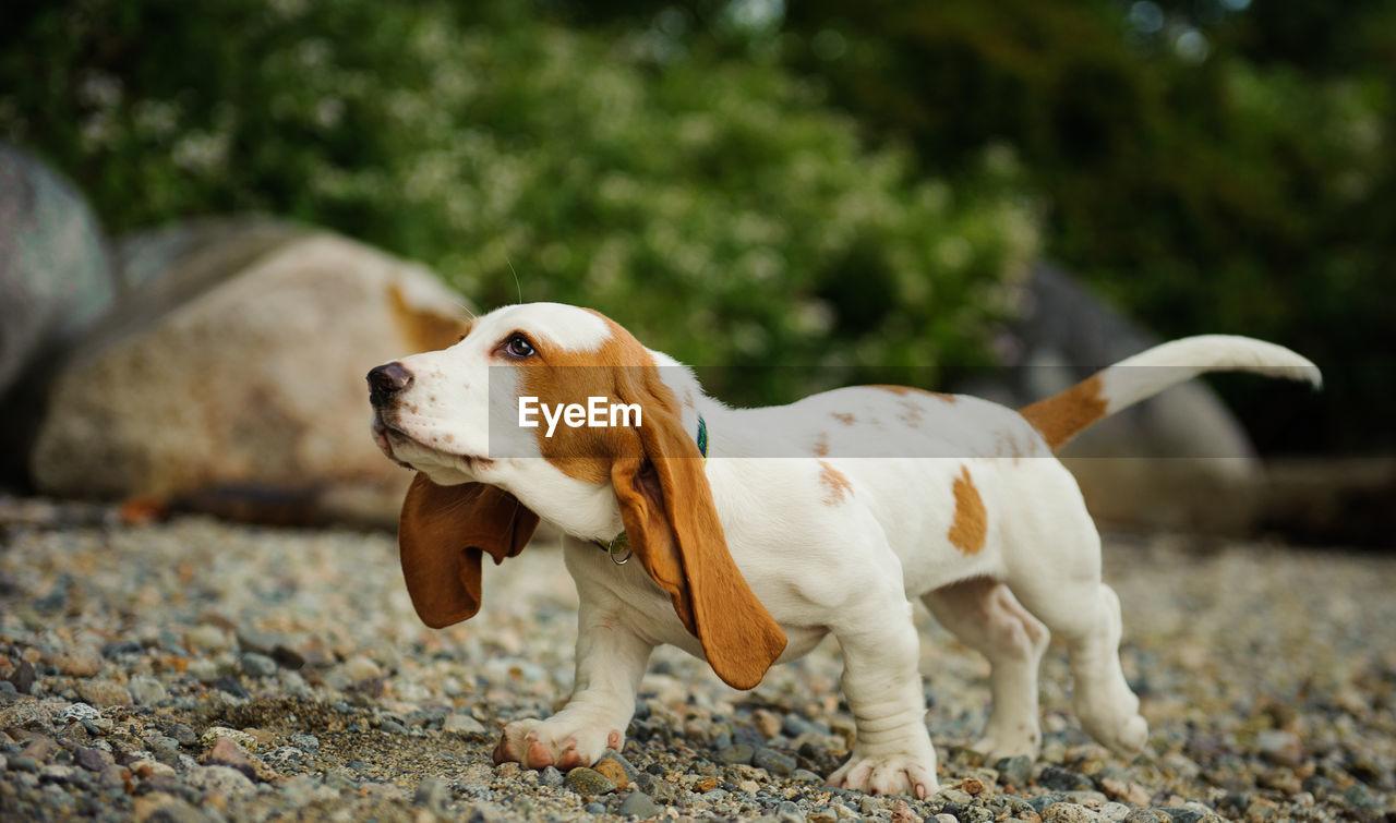Profile View Of Basset Hound Dog Walking On Stones