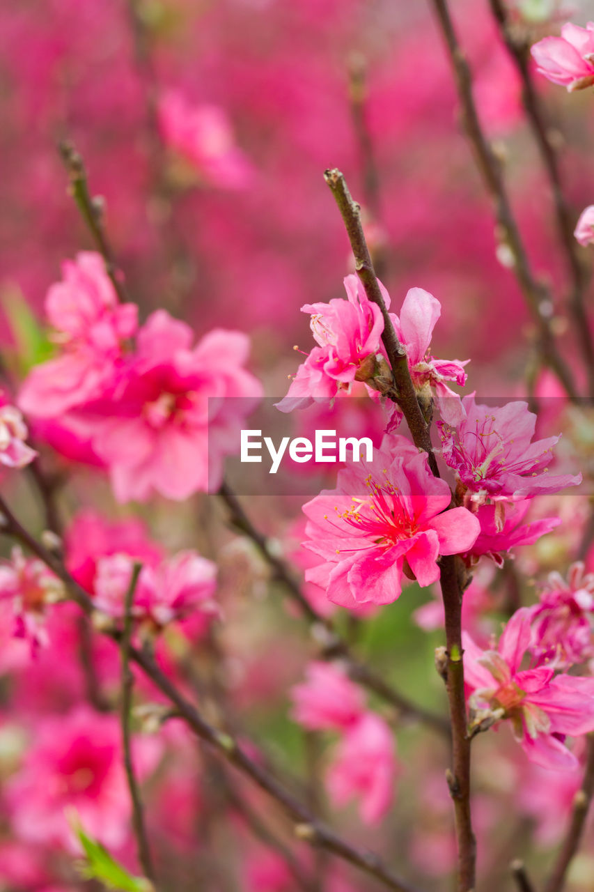 flower, pink color, fragility, growth, blossom, beauty in nature, freshness, nature, springtime, petal, branch, tree, botany, no people, selective focus, day, twig, outdoors, close-up, flower head, stamen, plum blossom, blooming