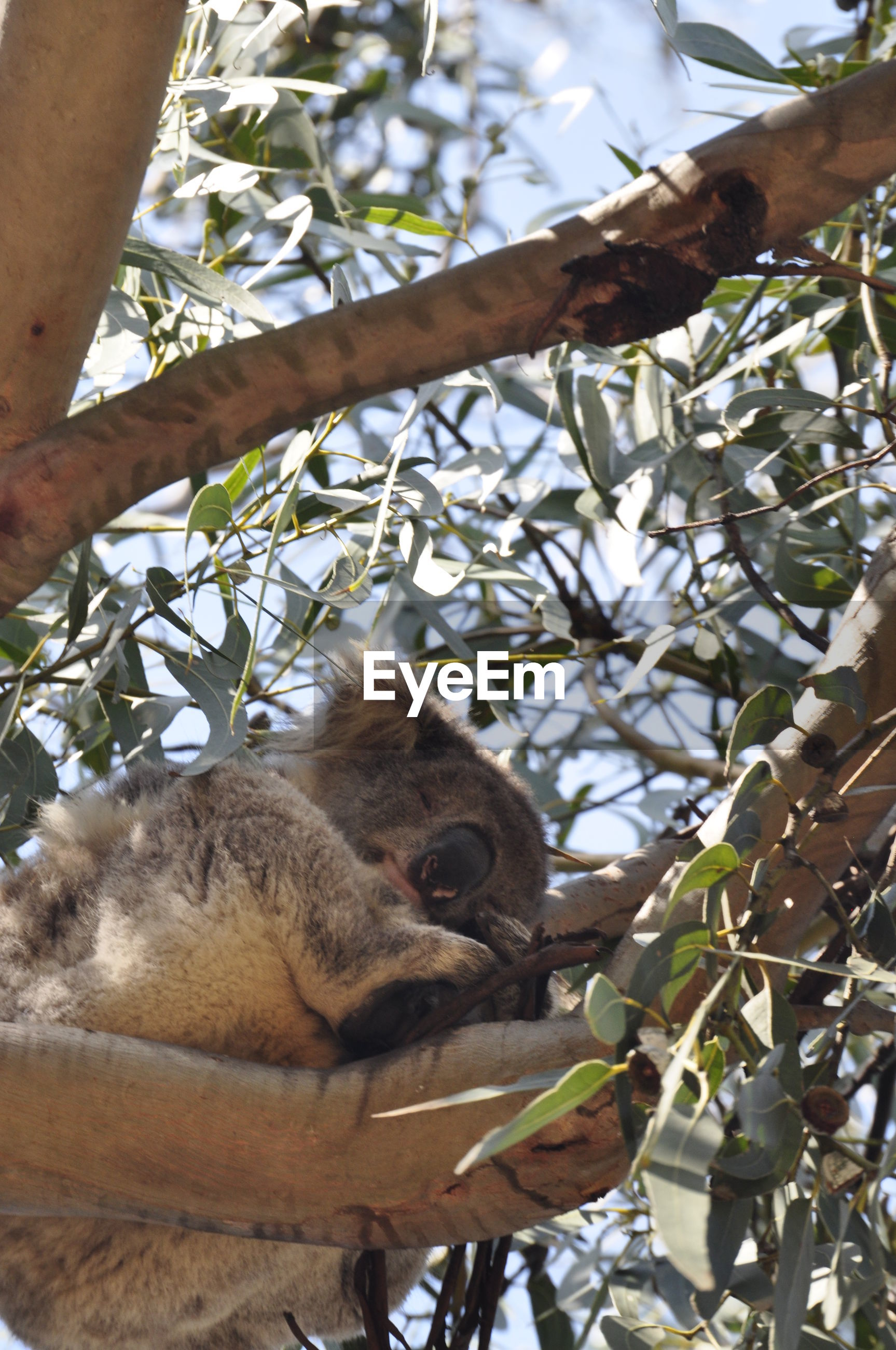 Low angle view of koala relaxing on tree