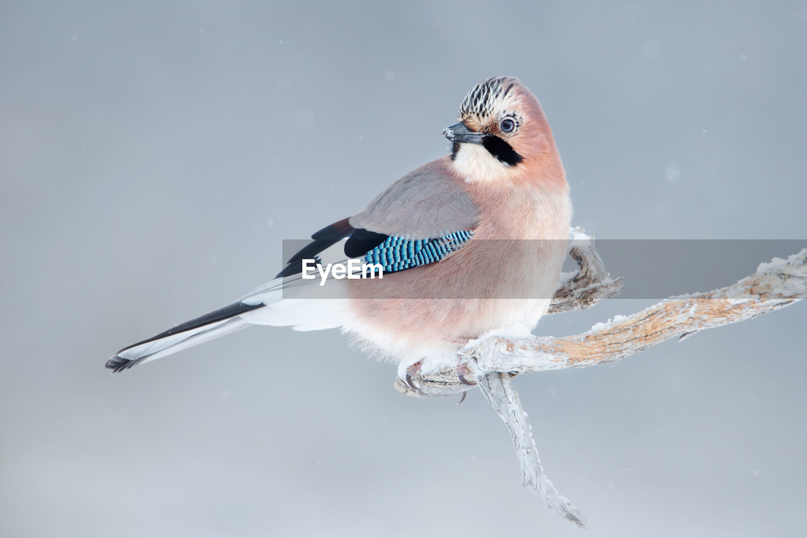 Close-up of eurasian jay perching tree branch during winter