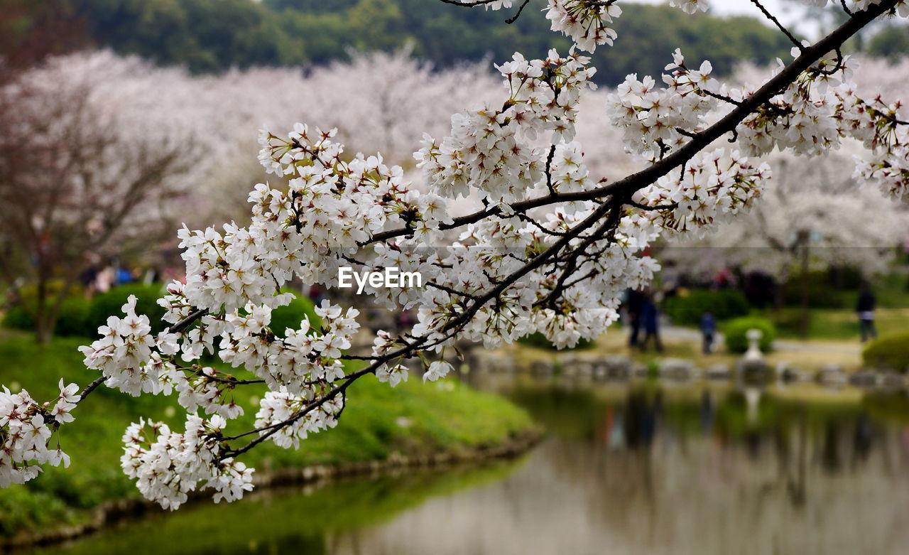 flower, blossom, cherry blossom, fragility, springtime, cherry tree, beauty in nature, tree, apple blossom, nature, almond tree, growth, white color, freshness, apple tree, orchard, branch, botany, no people, day, twig, outdoors, lake, flower head, close-up