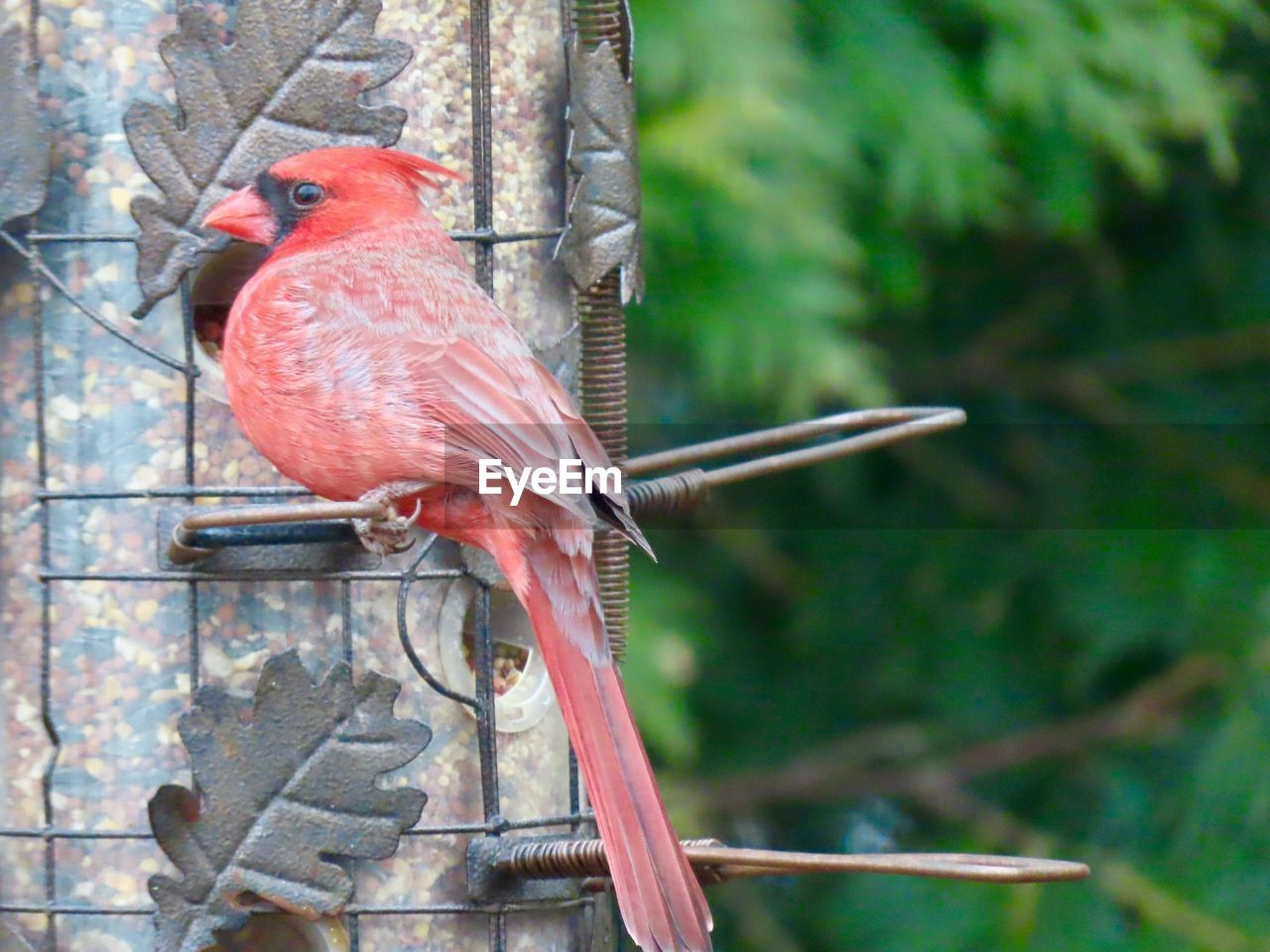 animal themes, bird, animal, vertebrate, animals in the wild, animal wildlife, perching, one animal, tree, focus on foreground, no people, day, nature, outdoors, branch, cardinal - bird, plant, close-up, red, full length