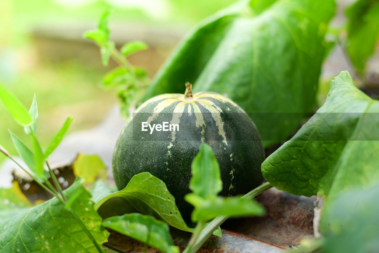 green color, food, freshness, food and drink, leaf, close-up, plant part, growth, healthy eating, plant, fruit, no people, selective focus, nature, vegetable, wellbeing, day, beauty in nature, organic, focus on foreground, outdoors, ripe