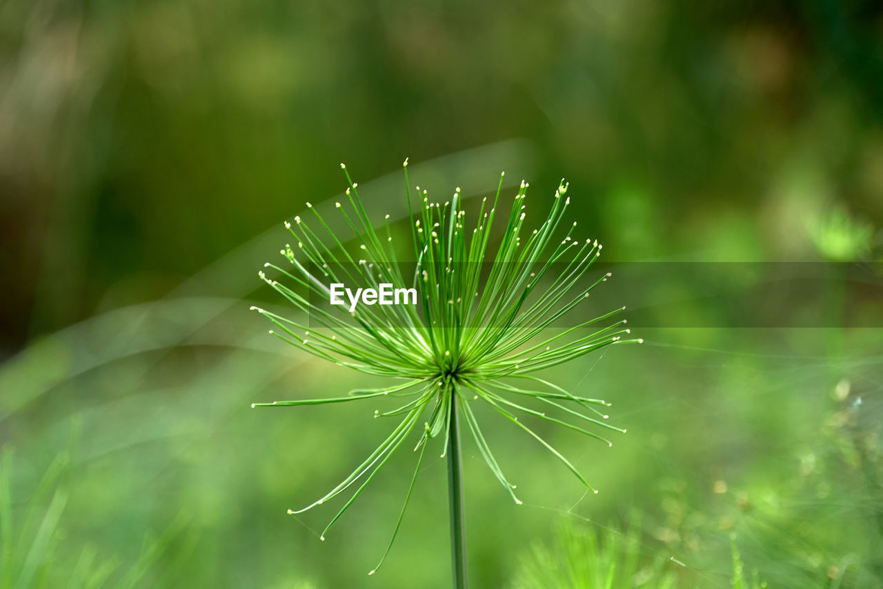 plant, beauty in nature, drop, green color, wet, growth, freshness, water, nature, close-up, focus on foreground, day, fragility, vulnerability, no people, tranquility, outdoors, selective focus, plant part, dew, dandelion seed, rain, raindrop, purity, blade of grass