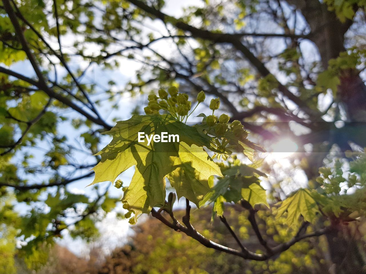 plant, tree, beauty in nature, growth, leaf, plant part, branch, low angle view, sunlight, nature, focus on foreground, sky, day, yellow, sun, no people, tranquility, flower, lens flare, outdoors, springtime, bright, brightly lit, leaves, spring