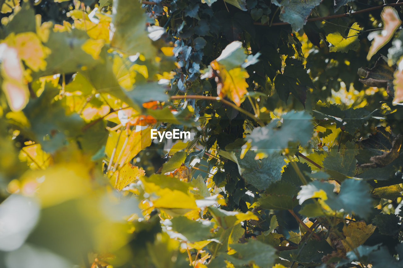 growth, plant, yellow, beauty in nature, plant part, leaf, day, no people, nature, freshness, close-up, outdoors, agriculture, sunlight, tree, selective focus, food and drink, flowering plant, crop, food